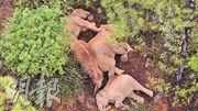 雲南自西雙版納向北遷徙近500公里的15頭亞洲象,目前正停留在玉溪市易門縣南山村附近。圖為前日,大象在林中休憩。(新華社)