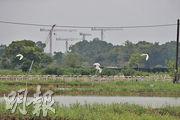 土拓署及漁護署期望透過修復荒廢農地在塱原增建約8公頃濕地,吸引更多雀鳥棲息。昨現場所見,不時有白鷺等在濕地飛翔。(曾憲宗攝)